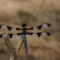 12 Spotted Skimmer Print by Dick Todd