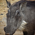 African Boar Print by Dave Hall
