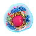 Animal cell, artwork Print by Science Photo Library