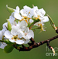 Apple Blossoms Print by Carol Groenen