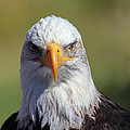 Bald Eagle Poster by Jim Nelson
