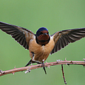 Barn Swallow by Angie Vogel