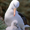 Black-browed Albatross With Chick Print by Art Wolfe
