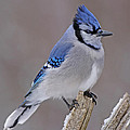 Bluejay Poster by Jim Nelson