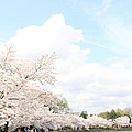 Cherry Blossoms - Washington DC - 01131 Print by DC Photographer