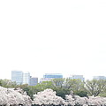 Cherry Blossoms - Washington DC - 011316 Print by DC Photographer