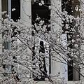 Cherry Blossoms with Jefferson Memorial - Washington DC - 01131 Poster by DC Photographer