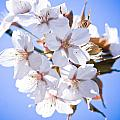Cherry tree Blossoms Close up Poster by Raimond Klavins