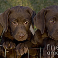 Chocolate Labrador Retriever Pups Print by Linda Freshwaters Arndt
