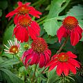 Coneflowers Echinacea Red  Print by Rich Franco