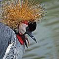 CROWNED CRANE Poster by Skip Willits