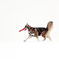 Dog in the snow Print by Grant Glendinning
