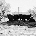 feed and fresh grass laid out for cows on winter farmland Forget Saskatchewan Canada Poster by Joe Fox