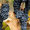 gamay noir grapes Poster by Kevin Miller