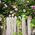 Garden fence with roses Poster by Elena Elisseeva