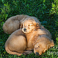 Golden Retriever Puppies Sleeping Poster by Linda Freshwaters Arndt