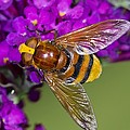 Hornet mimic hoverfly Print by Science Photo Library