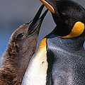 King Penguin With Chick Poster by Art Wolfe