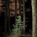 lightpainting the pine forest new growth Print by Dirk Ercken