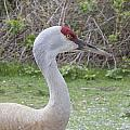 Sand Hill Crane Poster by Graham Foulkes