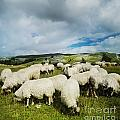Sheep in the field Poster by Jelena Jovanovic
