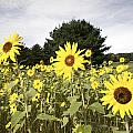 Sunflower Patch Poster by Ray Summers Photography