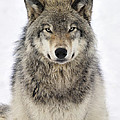 Timber Wolf Portrait Poster by Tony Beck
