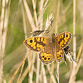 Wall Brown Butterfly Print by Robert Carr
