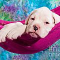 white boxer dog puppy Print by Doreen Zorn