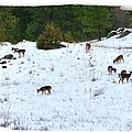 Winter Grazing Print by Will Borden