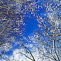 Winter trees and blue sky Print by Elena Elisseeva