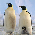 Emperor Penguins Poster by Art Wolfe
