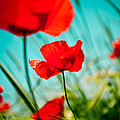 Poppy field and sky Poster by Raimond Klavins