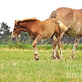 A Mare and her Colt Print by Penny Neimiller
