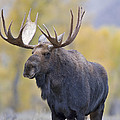 Autumn Bull Moose III Poster by Gary Langley