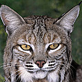 Bobcat Portrait Wildlife Rescue Poster by Dave Welling