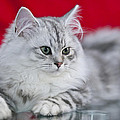 British Longhair Kitten by Melanie Viola