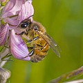 Honey bee feeding on flower Print by Science Photo Library