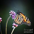 Monarch butterfly Print by Elena Elisseeva