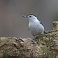 Nuthatch Poster by Jim Nelson