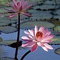 Pink Water Lily in the Spotlight Poster by Sabrina L Ryan