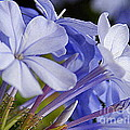 Plumbago Summer Solstice In New Orleans Louisiana Print by Michael Hoard