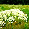 Queen Anne's Lace Print by Carol Toepke