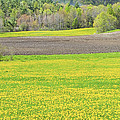 Spring Farm Landscape With Dandelion bloom in Maine Poster by Keith Webber Jr