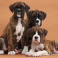 Three Boxer Puppies Print by Mark Taylor