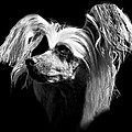 Chinese Crested Hairless Print by Diana Angstadt