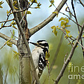 Hairy Woodpecker Print by Linda Freshwaters Arndt