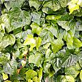 Ivy Print by Les Cunliffe