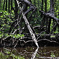 Mangrove forest in Los Haitises National Park Dominican Republic Print by Andrei Filippov