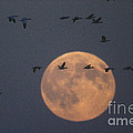 Snow Geese Print by James L. Amos